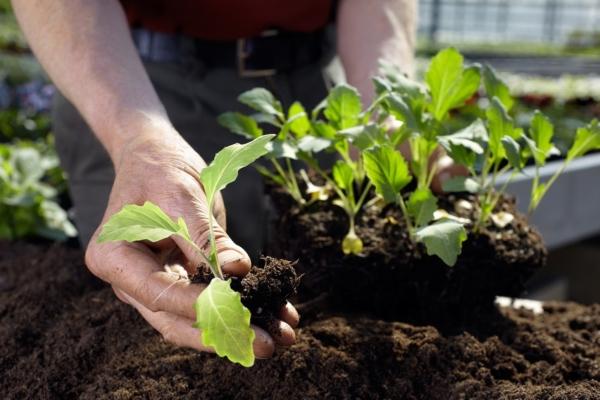 Hände eines Gärtners, der gerade kleine Pflanzen einsetzt