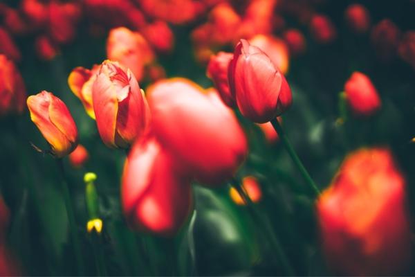 GUARDI Österreich Tulpen Blüten Blumen rot bnt Frühling