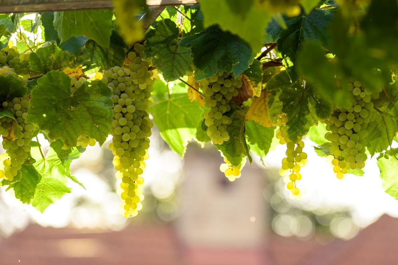 GUARDI Österreich Wein Weintrauben Weinbeeren Pergola
