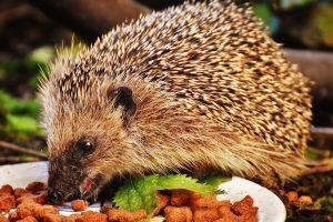 GUARDI Österreich Igel Herbst Quartier zuhause schützen fressen Essen Katzenfutter futter