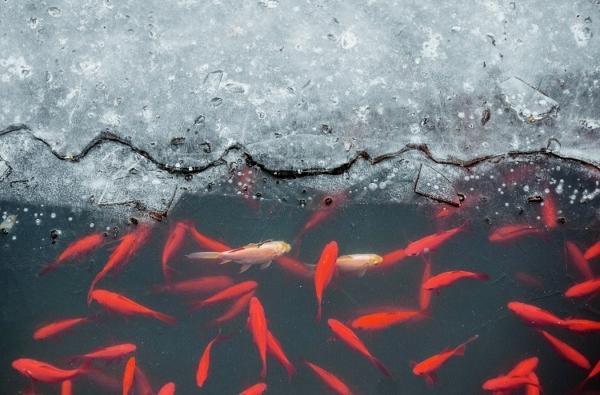 Rote kleine Fische schwimmen ganz nah am Eisufer