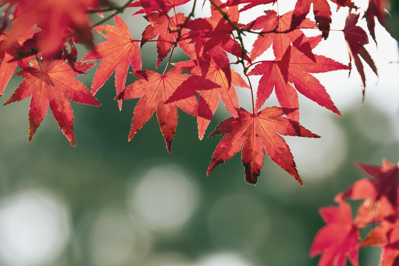 GUARDI Österreich Ahorn Herbst Laub bunt rot Baum