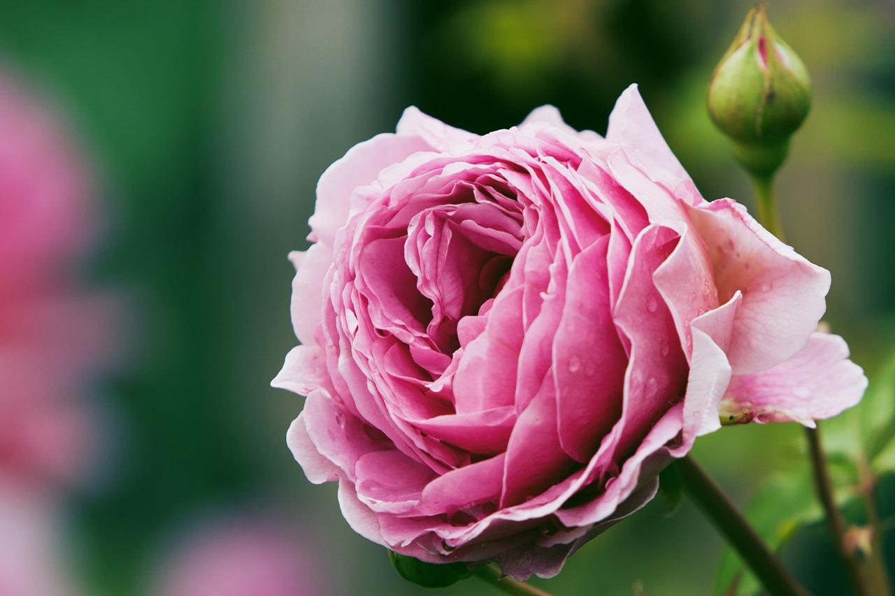 GUARDI Österreich Rose Rosen Sommer Blumen Pflanzen Garten