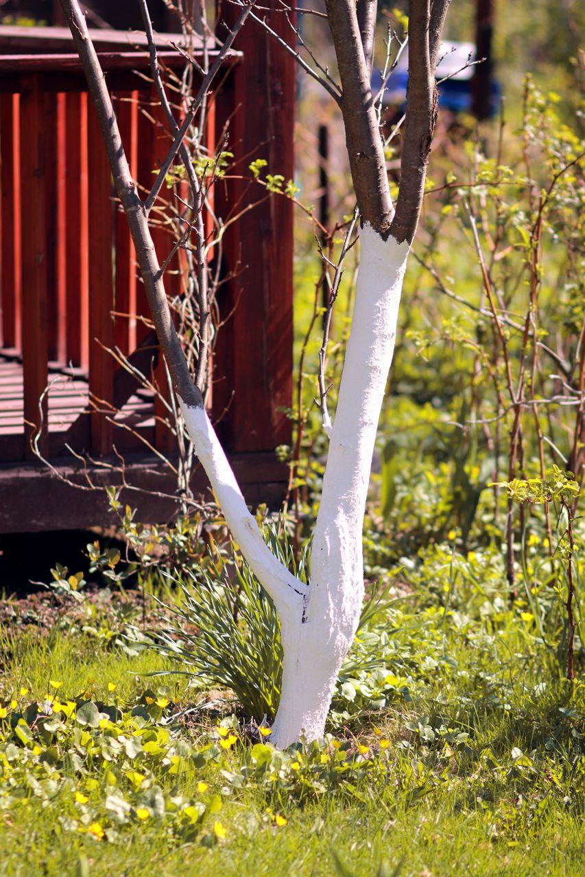 GUARDI Austria Frostschutz Bäume Obstbaum Gartenmonat Februar getüncht Kalk