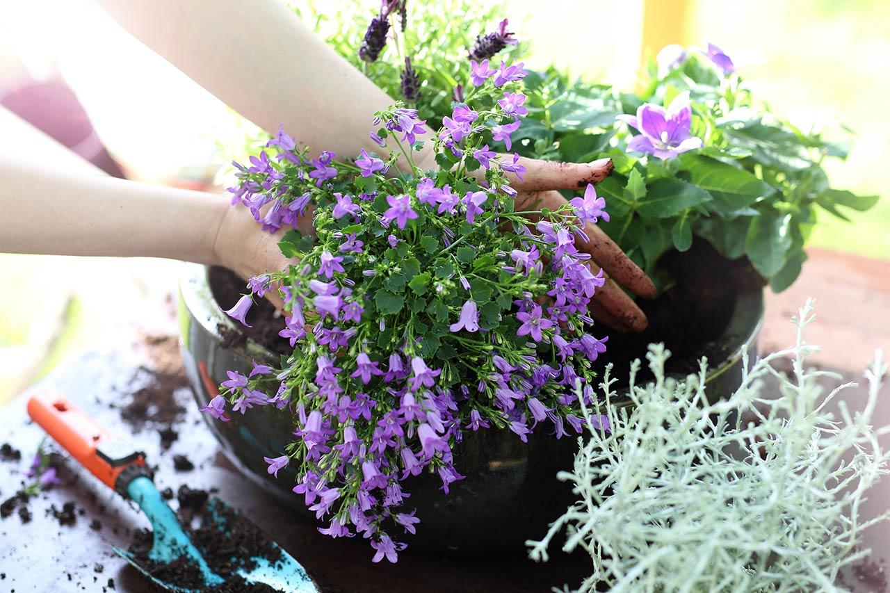 GUARDI Balkonblumen Balkonpflanzen Kübel Lavendel