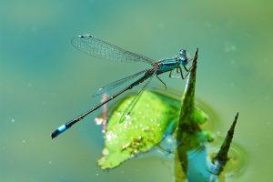 GUARDI Österreich Gartenmonat Juli Libelle Teich Wasser Regentonne Gelsen Mücken bekämpfen