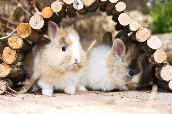 Zwei Kaninchen draußen unter einem Schutz aus Holz