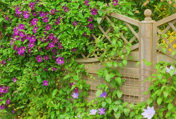Waldrebe, Guardi, Gartenzaun, zaun günstig