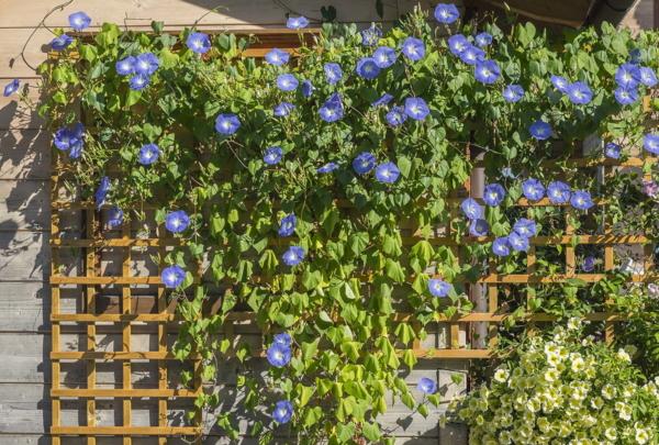 Zaun bepflanzen, Prunkwicke, Gartenzaun