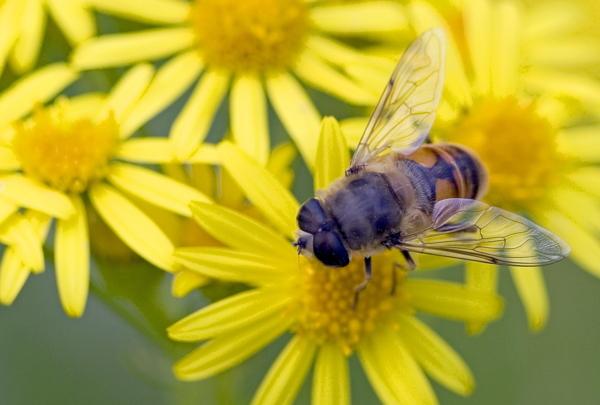 Biene, Bestäuben, Sommer
