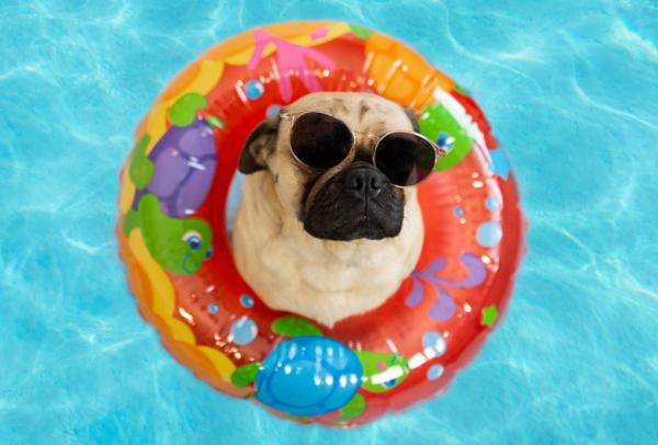 Ein kleiner Hund mit Sonnenbrille in einem Schwimmreifen in einem Pool