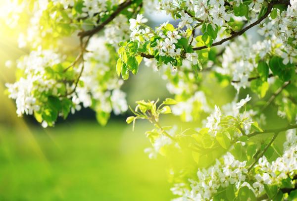 Ein blühender Ast von einem Baum in Großaufnahme