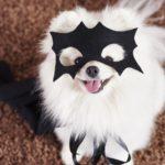 Ein weißer kleiner Hund mit Batman Maske im Gesicht