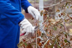 Pflanzen zurückschneiden - oder warten bis zum Frühjahr?Durch das Abfallen des kompletten Blattwerks können die einzelnen Stauden auch gewissenhaft zurückgeschnitten werden - sprich: alte und abgestorbene Äste können mit ruhigem Gewissen abgeschnitten werden. So sind prachtvolle Blüten im Frühling & Sommer garantiert. Dabei ist es wichtig, das Geäst nicht bei vollem Frost zu schneiden - erledigt dies deshalb an einem milderen Herbst- oder Wintertag. So werden die Sträucher und Bäume nicht zusätzlich belastet.Als produktives Werkzeug dient eine Ratschenschere, die vor allem bei dickeren Ästen die Arbeit erleichtert. Durch die dauerhafte Einrastung in das Holz ist ein sauberer Schnitt möglich. Für höher gelegene Hölzer eignet sich eine Baumsäge mit Teleskopstiel. So kommt ihr auch an Stellen, die ihr sonst nur mit Leitern erreichen würdet.GUARDI-Tipp: Schiebt das Zurückschneiden der abgeblühten Stauden in den Frühling - so können viele Insekten den Winter über in den alten Ästen verbringen, Äste zurückschneiden, zurückschneiden