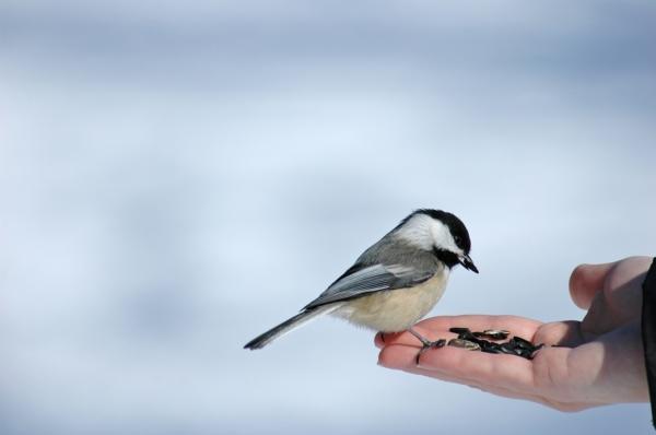 Vogel sitzt auf einer Hand mit Vogelfutter und pickt Körner