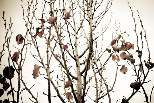 Birnenbaum im Winter, der Baum ist mit wenigen kahlen Blättern behängt