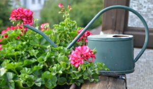 Geranie oder auch Pelagnien sind im Blumenkasten zu sehen, daneben steht eine Gieskanne