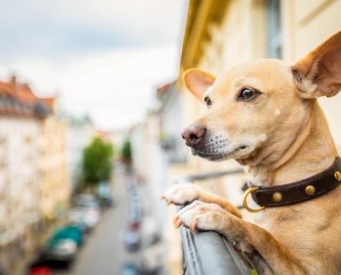 Hund schaut über ein Balkongeländer auf die Straße