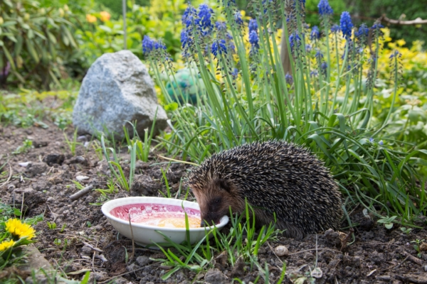 Igel frisst im Garten ein Ei