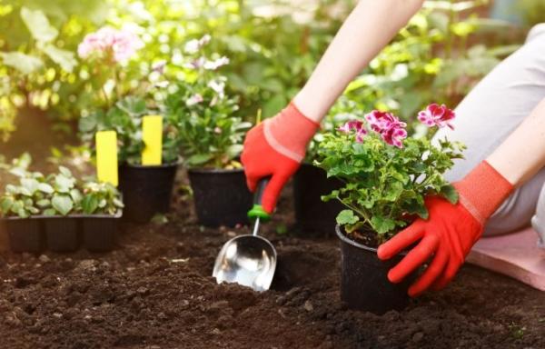 Es werden Blumen in die Erde eingepflanzt