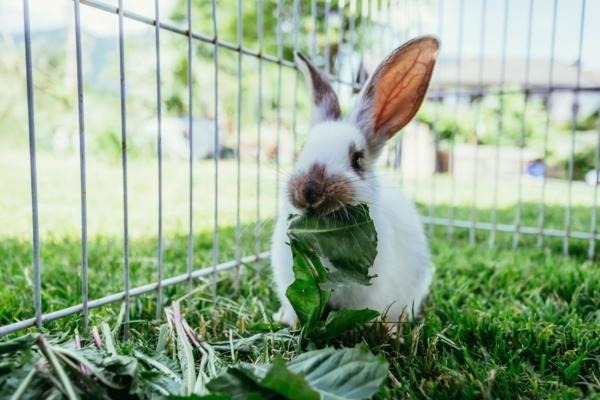 Man sieht ein Kaninchen in einem Außengehege im Garten, das gerade an einem Blatt knabbert