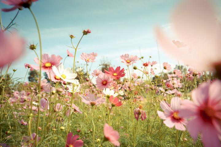 Man erkennt rosafarbene Blumen