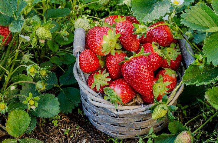 Zu sehen ist ein Korb voller reifen Erdbeeren