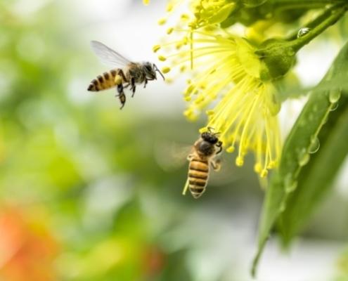 Es sind zwei Binen auf einer gelben Blume zu sehen.