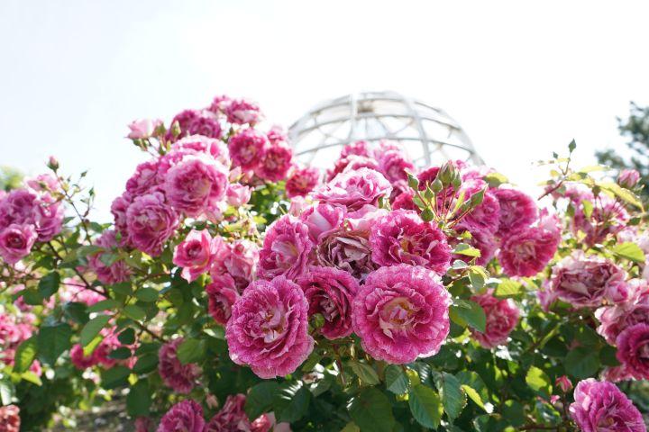 Am Bild sind rosa farbene Rosen zu sehen.