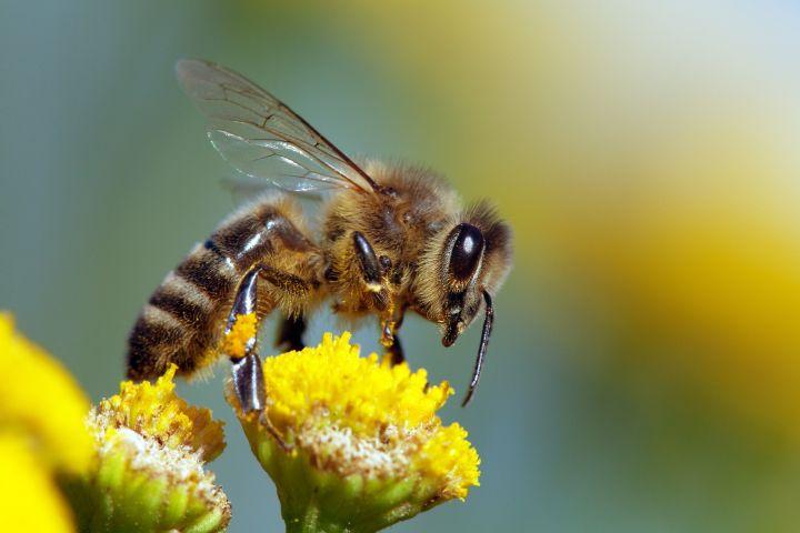 Man erkennt eine Wildbiene bei einer gelben Blume.