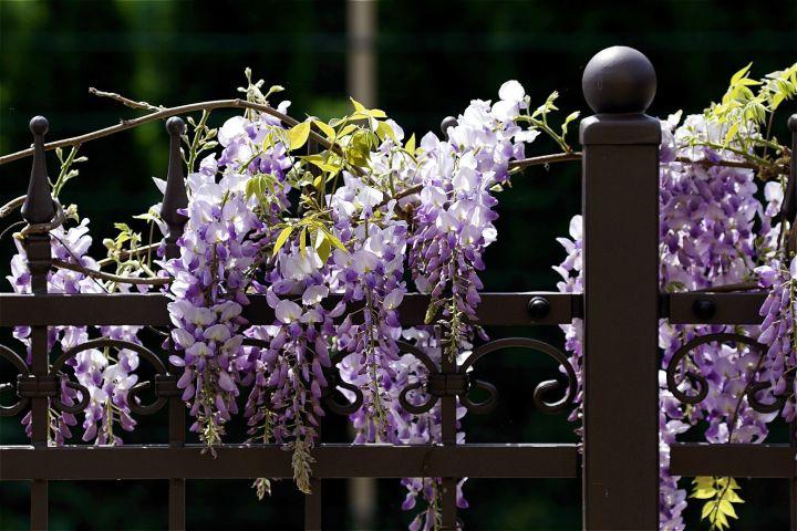 Blauregen an Gartenzaun