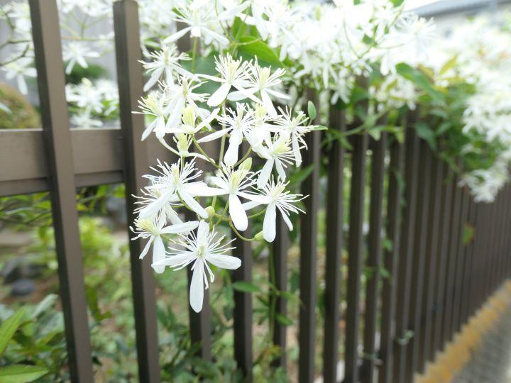 Weiße Clematis auf schwarzem Gartenzaun