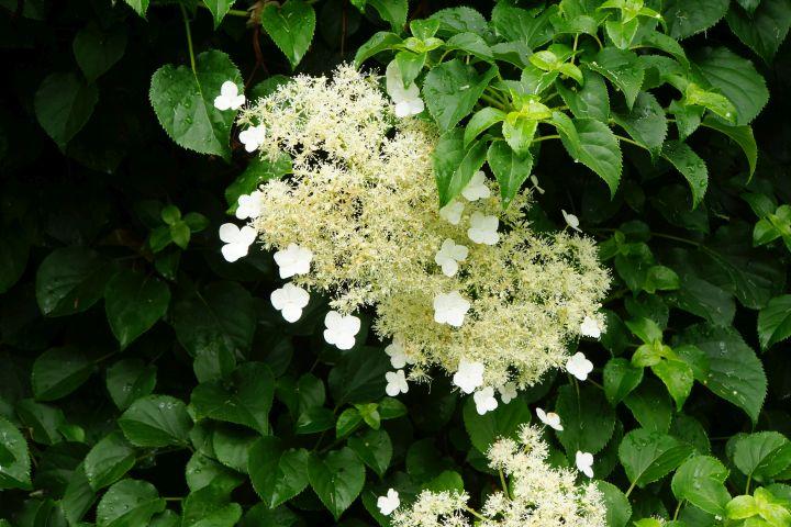 Weiße Kletterhortensie mit grünen Blättern