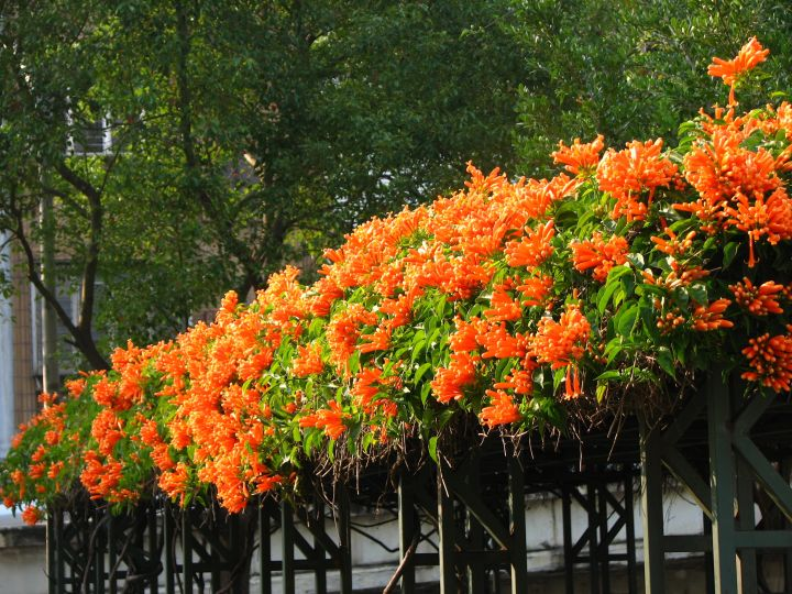Orange Trompetenblume auf schwarzem Zaun