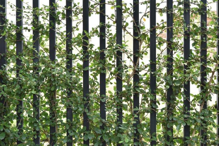 Zaun mit grüner Kletterpflanze